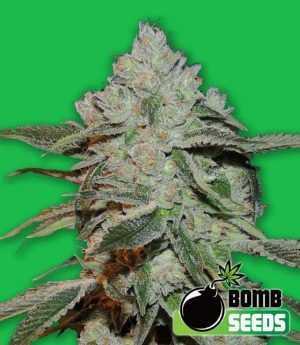 Atomic Bomb Cannabis Seeds