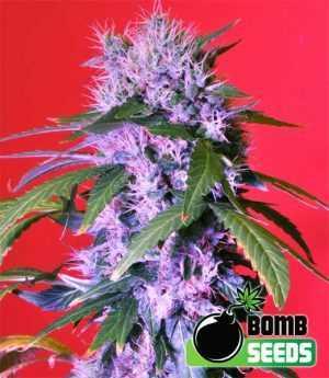 berry bomb cannabis seeds