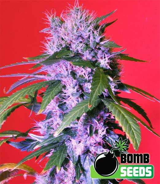 Berry Bomb by Bomb Seeds