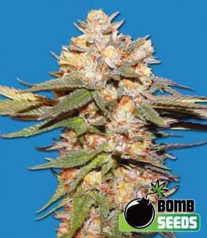 Big Bomb Auto Seeds