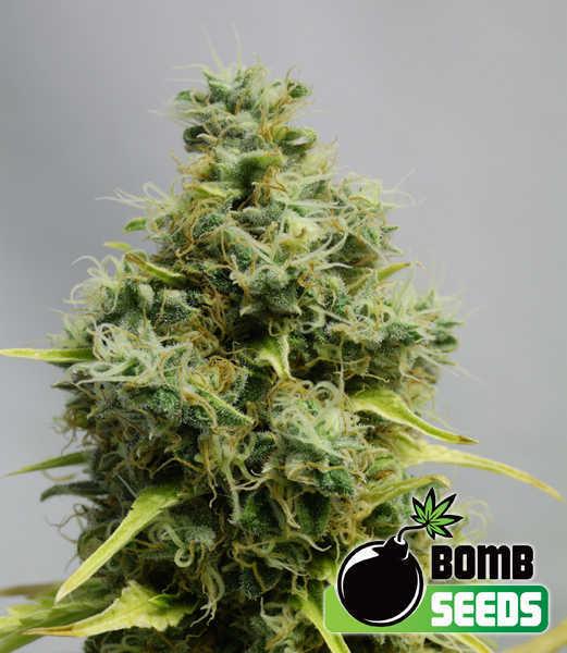 big bomb cannabis seeds