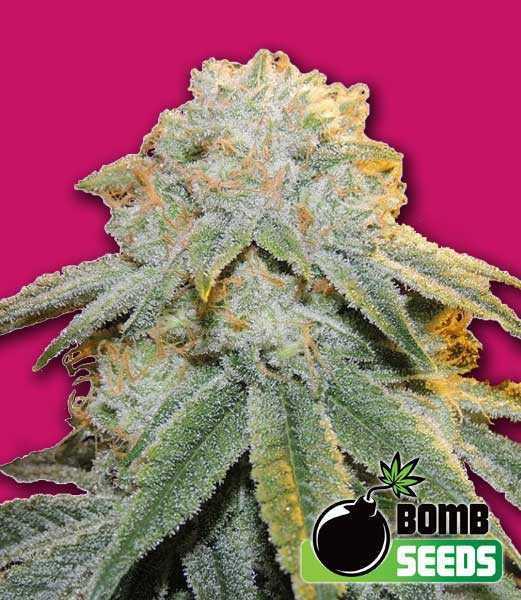 Bubble bomb cannabis seeds