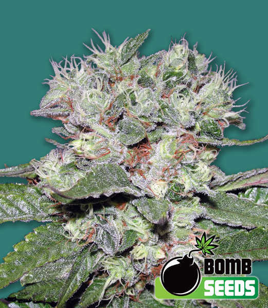 cbd bomb cannabis seeds