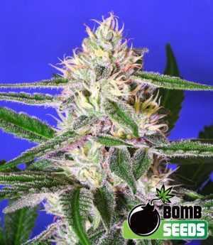 cheese bomb cannabis seeds