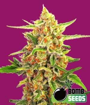 cherry bomb cannabis seeds