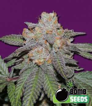 Cherry Bomb Auto Cannabis Seeds