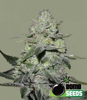 gorilla bomb cannbis seeds