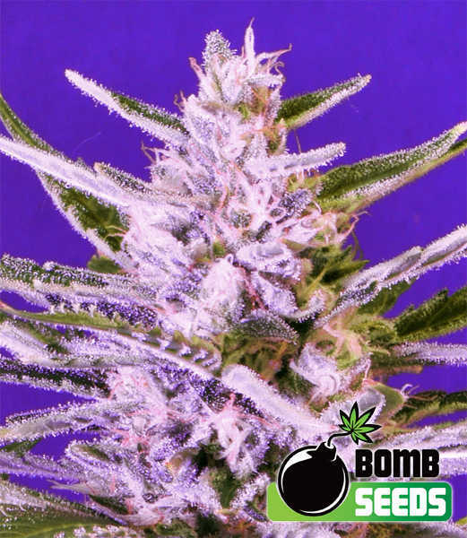 Ice Bomb by Bomb Seeds