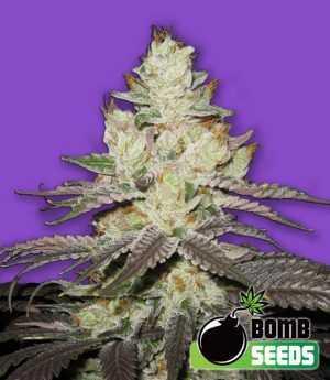 killer purps cannabis seeds