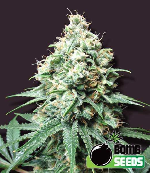 kush bomb cannbis seeds