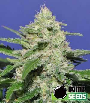 Widow Bomb cannabis seeds