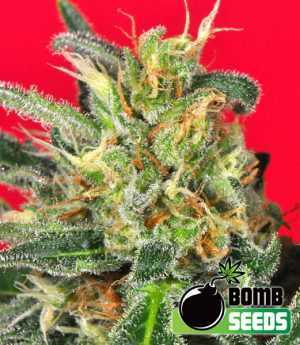 cluster bomb cannabis seeds